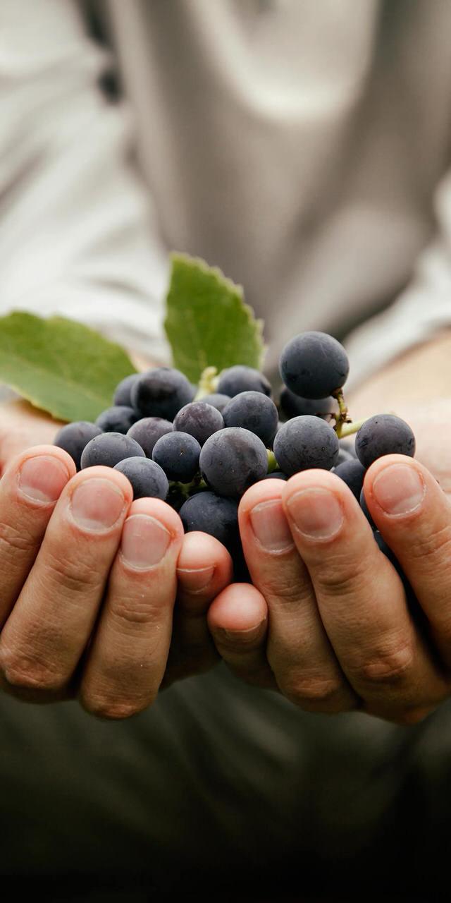 grapes-harvest