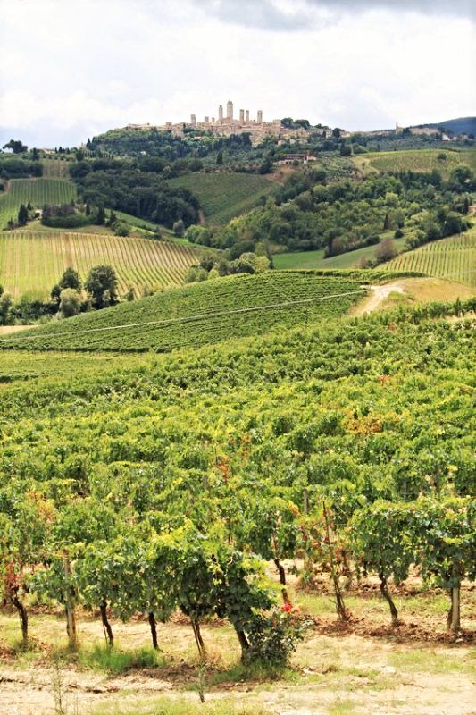 vineyard san gimignano
