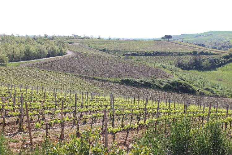 vineyard torciano