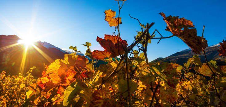 wineyard tuscany